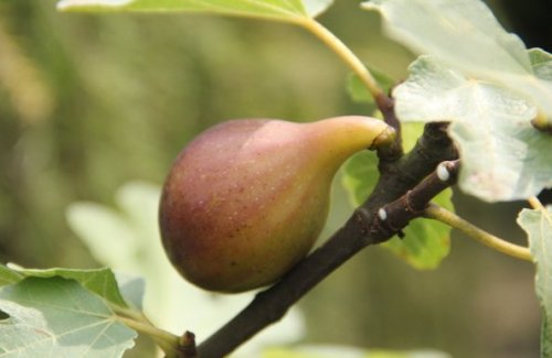 Vijg - Ficus carica 'Brown Turkey'